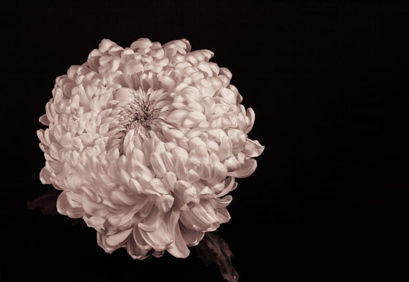 chrysanthemum_by_russell_spence