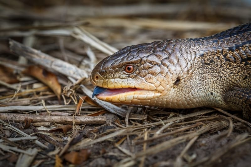 Blue Tongue Lizard-Russell Spence